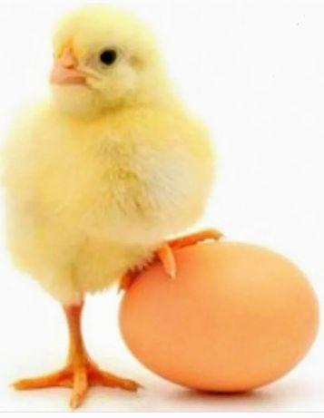 Бройлерные цыплята. Суточные. С прививками. Порода Арбор Айкрес. Оптом