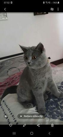 Pisici British Shorthair