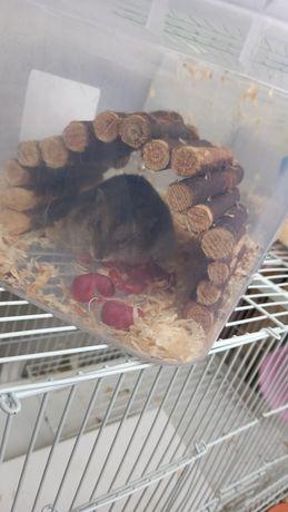 Hamsteri pitici (roborowsky)