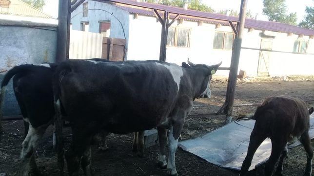 Продам стельную корову