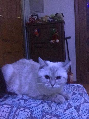 Кошка Скоттиш Страйт