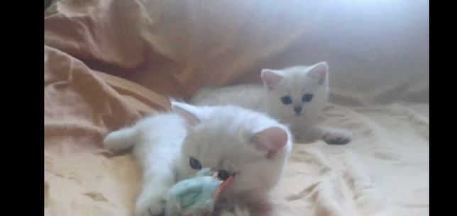 Pisicuțe British Chin Chila ,deosebite