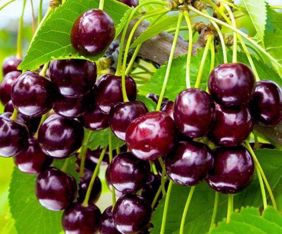 Саженцы плодовых деревьев черешня, яблоня, персик, слива, абрикос
