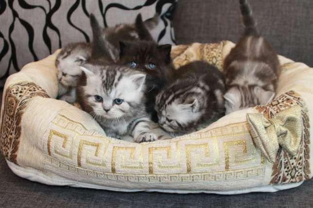 .скоттиши.шотландские котятки