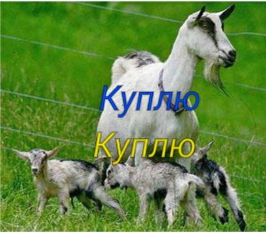 Козу с двумя козлятами