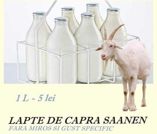 Lapte de capra saanen