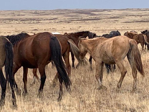 Продам табун лошадей срочно
