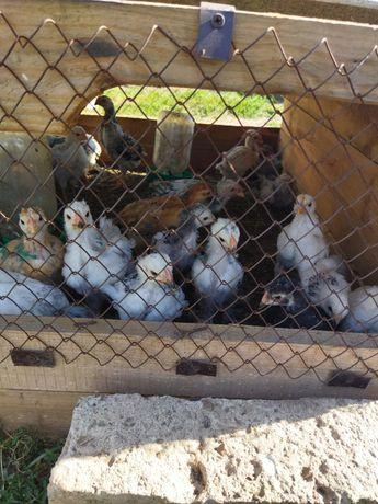 Продам цыплят месячных домашние и брама