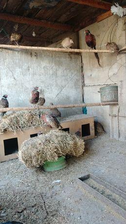 Охотничьи фазаны,