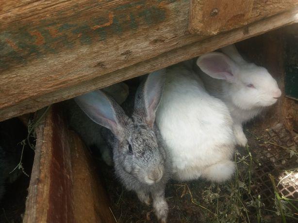 Продам кролики и кролчатый великан