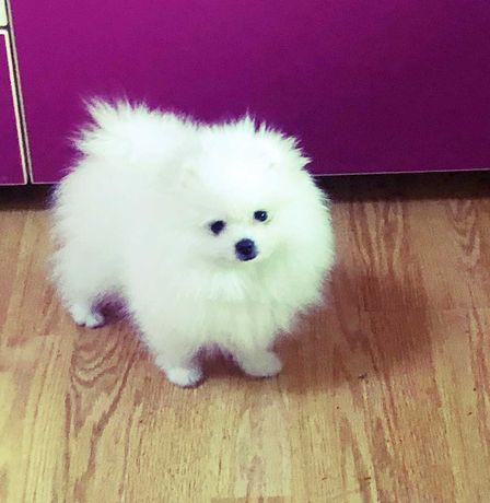 Pomeranian - Canisa