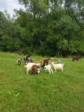 Vând lapte de capră