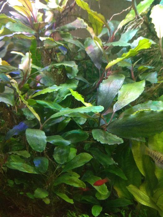 Буцефаландра аквариумное растение Bucephalandra sp.Gigantic Shine Blue