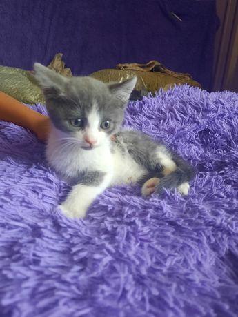 Продам британских котят 1,5 месяца 5000