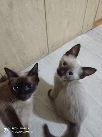 Котята сиамские.