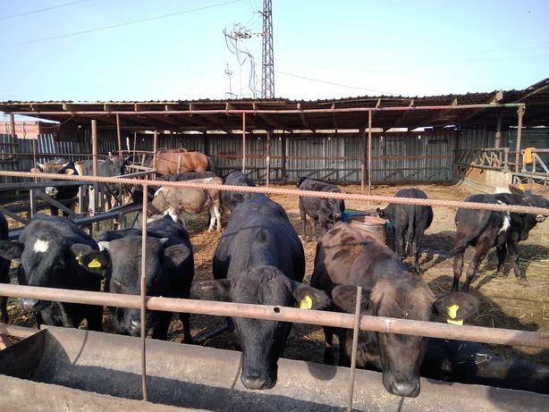 Продам бычков, коров породистых