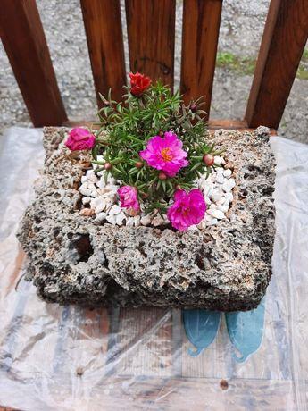 Саксии от варовит камък (бигор) с каменна роза