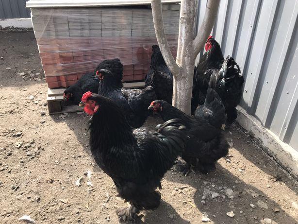 Инкубационные яицо. Черная брама