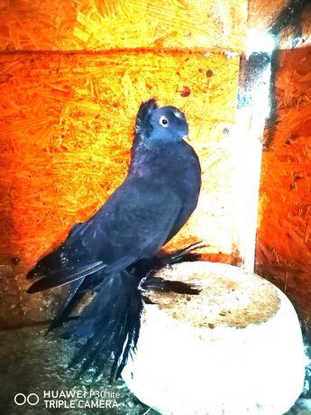 Porumbei jucători de Botoșani