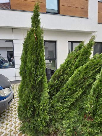 Vând plante ornamentale diferite speci si dimensiuni pe oferă livrare