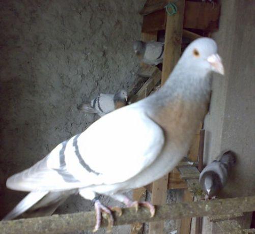 Ciocârlii de Coburg