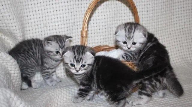 Котята-серебро мрамор