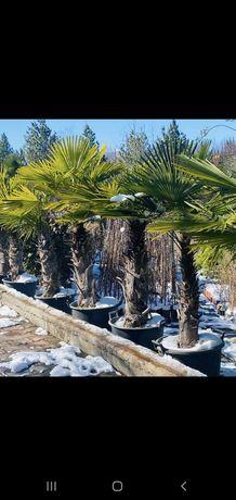 Pomi palmieri naturali rezistenți la un ger de peste-18°C