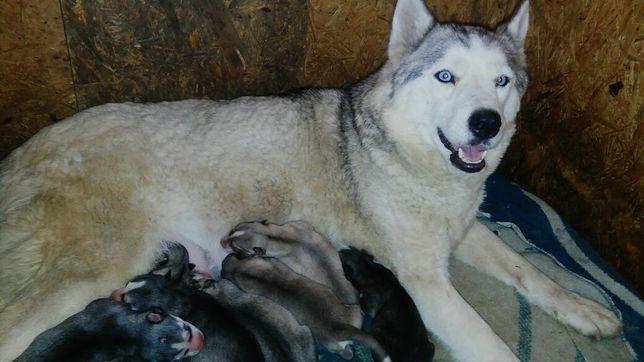 Продам щенков сибирской хаски.
