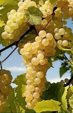 Struguri de vin (Fetesca alba,Tamaioasa Românească, Cabernet,Merlot)