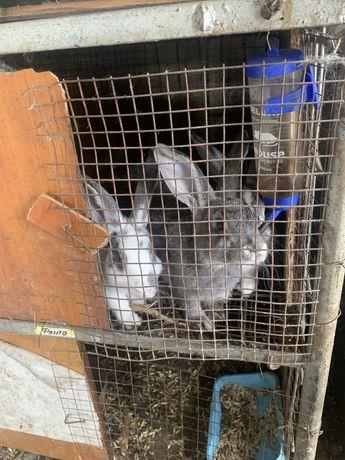 Крольчата крупные