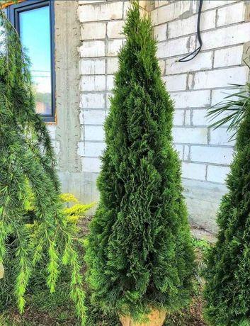 Vând o multitudine de plante ornamentale pentru grădina dumneavoastră