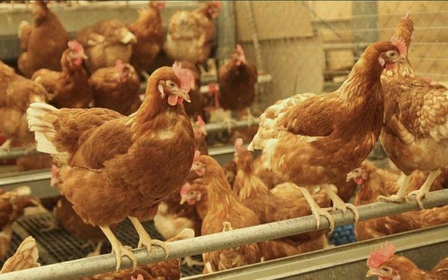 Цыплята несушки Ломан Браун