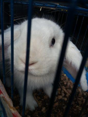 Кролик, белого цвета, ручной