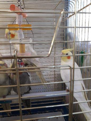 Попугаи Корелла Нимфа