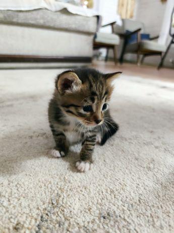 Котята кошки Чаузи