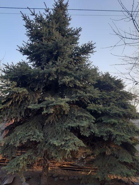 Продам елки,красивые(цена догов)