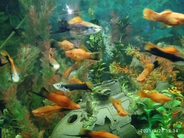 Меченосцы Рыбки Аквариумные
