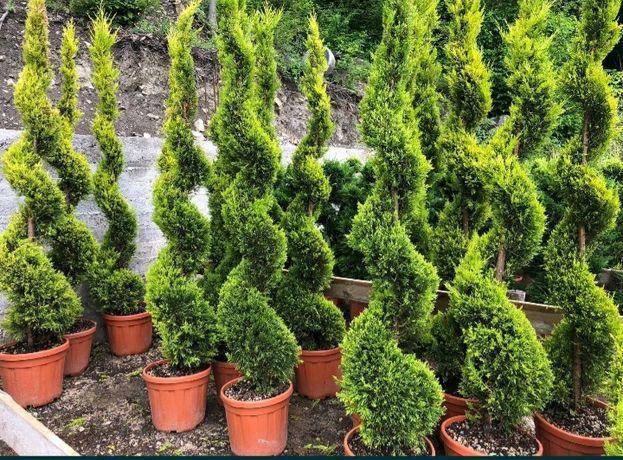 Plante ornamentale rulou de gazon