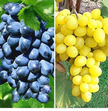 Pomi fructiferi și vita de vie