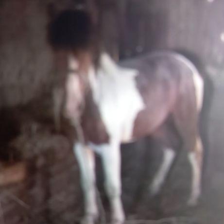 Продам лошадь 2 летка