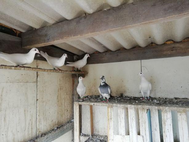 Белые почтовые голуби