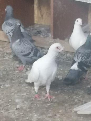 Vând masculi caraculati de Oradea