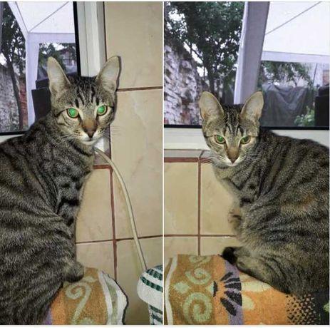 Adoptie pisici tigrate