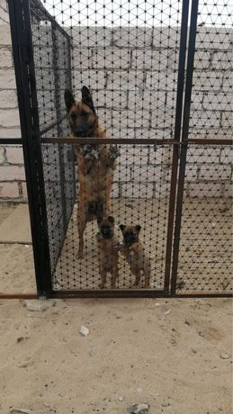 Продаётся 2 месячный щенки Белгинскии овчарка Малинуа