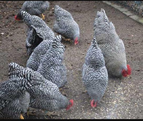 Цыплята Амрокс 6 суток