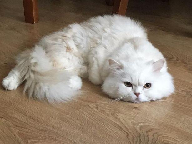 Персидский кот ищет персидскую кошечку для вязки .