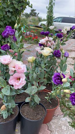 Продам цветы Эустомы