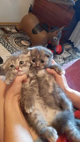 Котята фолды и страйты