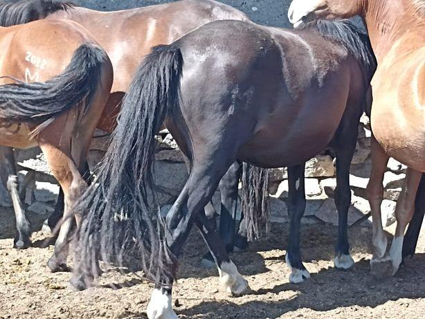 Лошадь 2 шт российская порода