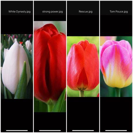 Тюльпаны, цветы оптом и в розницу!